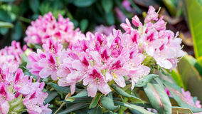 Pink Rhododendron flower Stock Photos