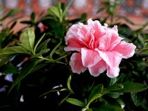 Pink rhododendron flower in pot stock photography