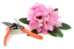 Pink Rhododendron flower and scissors on white background. Gardening Stock Photo