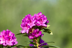 Pink Rhododendron flower in Seasonal Bloom Stock Photography