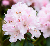 Pink rhododendron, Stock Photo