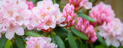 Pink rhododendron, Stock Image
