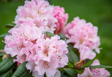 Pink rhododendron, Royalty Free Stock Image