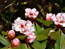 Pink Rhododendron flowering in spring Royalty Free Stock Image
