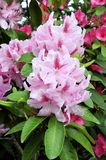Pink rhododendron flowers Stock Image