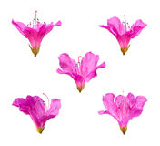 Pink Rhododendron flowers isolated on white background royalty free stock photography