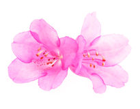 Pink rhododendron flowers Stock Images