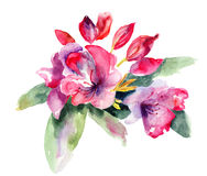 Pink Rhododendron flowers. Watercolor illustration Stock Photo