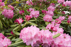 Pink rhododendron flowers Stock Photography