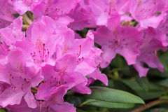 Pink Rhododendron Flowers in Bloom Royalty Free Stock Photography