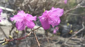 Pink rhododendron flowers on blurred background. Natural background stock video