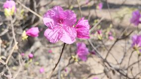 Pink rhododendron flowers on blurred background. Natural background stock video footage
