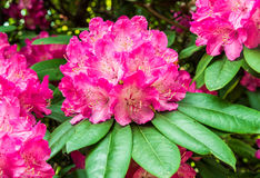 Pink rhododendron flowers on a branch Stock Image
