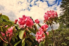 Pink rhododendron flowers close up Stock Image