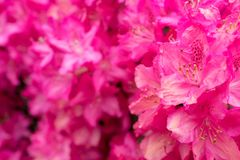 Pink rhododendron flowers in close-up. Stock Images