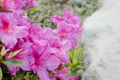 Pink Rhododendron Flowers royalty free stock photo