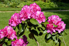 Pink rhododendron flowers Royalty Free Stock Photos