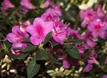 Pink rhododendron flowers with green foliage. subtropical plant.  Stock Photos
