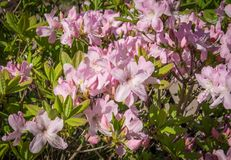 Pink rhododendron flowers with green foliage. subtropical plant.  Royalty Free Stock Photography