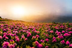 Free Pink Rhododendron Flowers In Mountains Royalty Free Stock Photography - 215261277