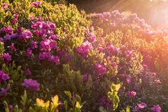 Pink rhododendron flowers, lit by sunset light Stock Photo