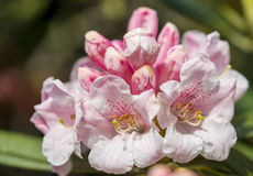 Pink rhododendron flowers. Macro image of some pink rhododendrons Stock Photo
