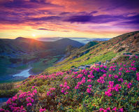 Pink rhododendron flowers in the mountains at sunrise Stock Photos
