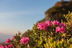 Pink rhododendron flowers on the mountainside Stock Images