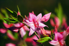 Pink rhododendron. Flowers by the one of the most beautiful woody plants of the heath family - rhododendrons Stock Photo
