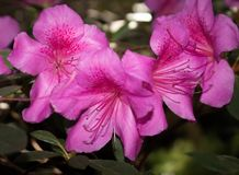 Pink rhododendron flowers. subtropical plant.  Stock Image