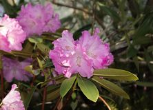 Pink rhododendron flowers. subtropical plant. Pink rhododendron flowers on green background. subtropical plant Royalty Free Stock Images