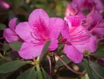 Pink rhododendron flowers. subtropical plant. Pink rhododendron flowers on green foliage. subtropical plant Royalty Free Stock Photos