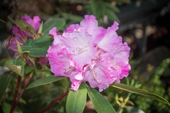 Pink rhododendron flowers. subtropical plant. On green background Royalty Free Stock Image