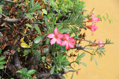 Pink rhododendron. With green leaves and trunks, and orange background Royalty Free Stock Images