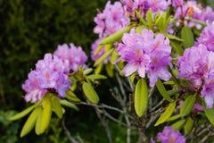 Pink rhododendron in green summer garden Stock Photos