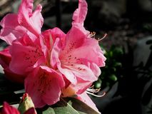 Pink Rhododendron In Bloom In Late Spring. Pink rhododendron with long stamens in bloom in late spring against a dark background stock images