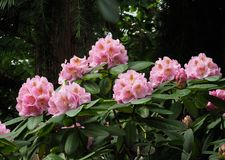 Pink Rhododendron In Bloom In Late Spring. Pink rhododendron with long stamens in bloom in late spring in a greenhouse royalty free stock image