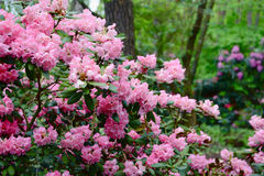 Pink rhododendron Royalty Free Stock Photo
