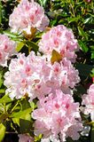 Pink Rhododendron. Stock Images