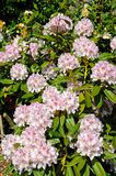 Pink Rhododendron. Royalty Free Stock Images