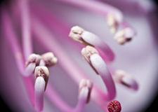 Pink rhododendron stamen. Extreme closeup of pink rhododendron flower stock photo