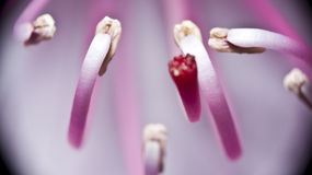 Pink rhododendron stamen. Extreme closeup of pink rhododendron flower stock photos