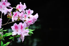 Pink rhododendron royalty free stock photography