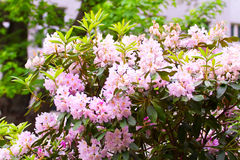 Pink rhododendrons flowering shrubs in the garden Stock Image