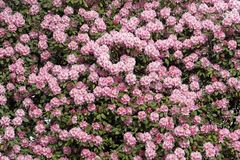 Pink rhododendrons hedge royalty free stock photo