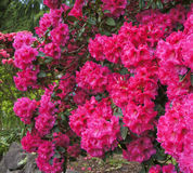 Pink rhododendrons shrub in bloom. Spring. USA Northwest. Pink red rhododendrons shrub in bloom. Spring. USA Northwest Royalty Free Stock Images