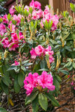 Pink Rhododendrons. In spring garden Stock Images