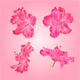 Pink rhododendrons vector. Pink rhododendrons flower Mountain shrub vector illustration Stock Image