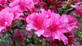 Pink rhodondendron flowers Royalty Free Stock Photo