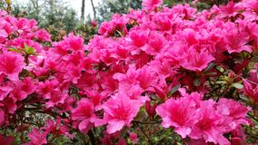 Pink rhodondendron flowers Royalty Free Stock Photos